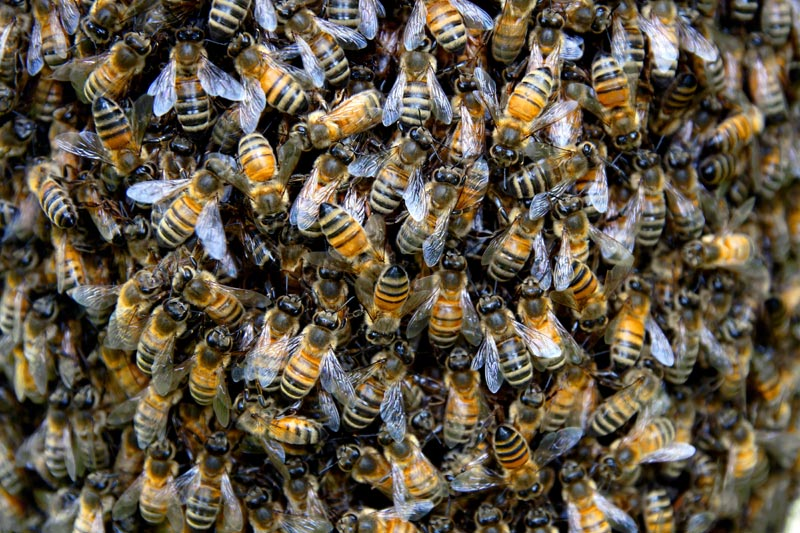 Photo d'abeilles, essaim (graphiste à Tournus, 71)