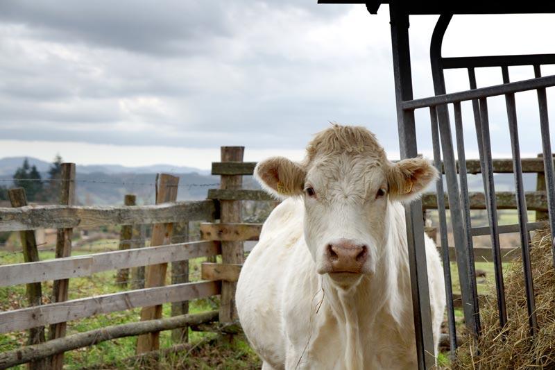 Photo de vache à Tournus (Saône-et-Loire)